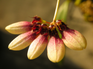 Bulbophyllum Orchidee