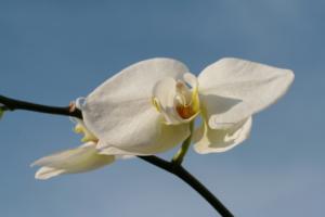 Dracula Orchidee