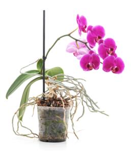 Kindel bei Orchideen