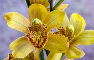 Klebrige Tropfen an Orchideen