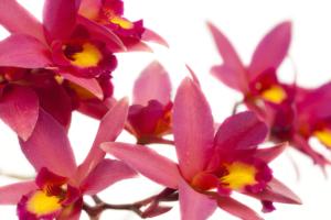 Laelia Orchidee