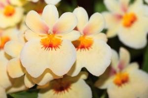 Miltonia Orchidee