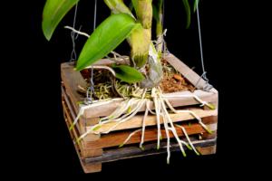 Orchideen aufbinden