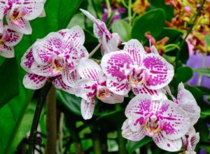 Phalaenopsis, die Falterorchidee