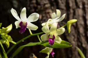 Schlaffe Blätter bei Orchideen