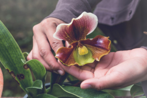 Sonnenbrand auf Orchideenblättern
