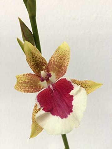 Miltonia Peter Komp gelb-pink – Stiefmütterchenorchidee – Orchidee