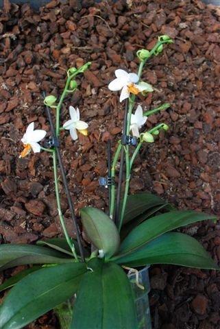 1 blühfähige Orchidee der Sorte: Phalaenopsis Mini Mark, 12cm Topf - 1