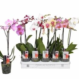 10 Stück Phalaenopsis 50-60 cm / 1 Trieb Blüten - Orchideen - Topforchidee - 1
