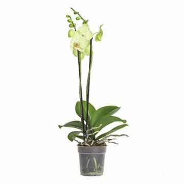 3x echte Phalaenopsis Orchideen 2 Triebe - 50 bis 70cm groß - Schmetterlingsorchidee wunderschöne blühende Tischpflanzen Blumen Geschenkset Naturprodukt - 3