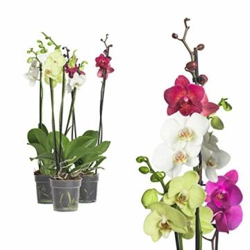 3x echte Phalaenopsis Orchideen 2 Triebe - 50 bis 70cm groß - Schmetterlingsorchidee wunderschöne blühende Tischpflanzen Blumen Geschenkset Naturprodukt - 1