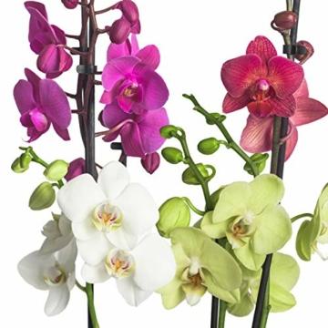 3x echte Phalaenopsis Orchideen 2 Triebe - 50 bis 70cm groß - Schmetterlingsorchidee wunderschöne blühende Tischpflanzen Blumen Geschenkset Naturprodukt - 5