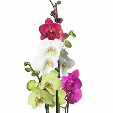 3x echte Phalaenopsis Orchideen 2 Triebe - 50 bis 70cm groß - Schmetterlingsorchidee wunderschöne blühende Tischpflanzen Blumen Geschenkset Naturprodukt - 6