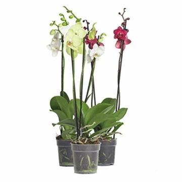 3x echte Phalaenopsis Orchideen 2 Triebe - 50 bis 70cm groß - Schmetterlingsorchidee wunderschöne blühende Tischpflanzen Blumen Geschenkset Naturprodukt - 7