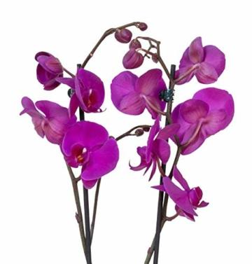 4er Set Orchideen, 4 Phalaenopsis Orchideen, 2 Rispen, 60-70 cm, beste Qualität, Topfdurchmesser Ø 12 cm - 2
