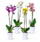 4er Set Orchideen, 4 Phalaenopsis Orchideen, 2 Rispen, 60-70 cm, beste Qualität, Topfdurchmesser Ø 12 cm - 1