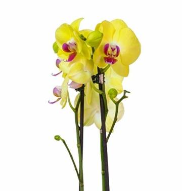 4er Set Orchideen, 4 Phalaenopsis Orchideen, 2 Rispen, 60-70 cm, beste Qualität, Topfdurchmesser Ø 12 cm - 3