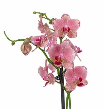 4er Set Orchideen, 4 Phalaenopsis Orchideen, 2 Rispen, 60-70 cm, beste Qualität, Topfdurchmesser Ø 12 cm - 4