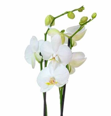 4er Set Orchideen, 4 Phalaenopsis Orchideen, 2 Rispen, 60-70 cm, beste Qualität, Topfdurchmesser Ø 12 cm - 5