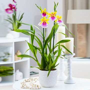 Miltonia 'Sunset' gelb-pink - Stiefmütterchenorchidee - Orchidee