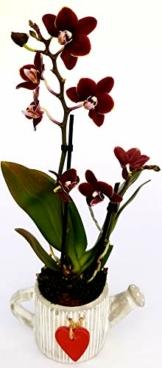 Orchidee Phalaenopsis schwarz im Topf, Orchidee Falenopsis, echte Pflanze