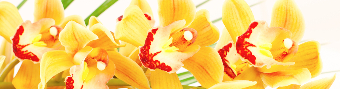 Gelbe Orchideen Header