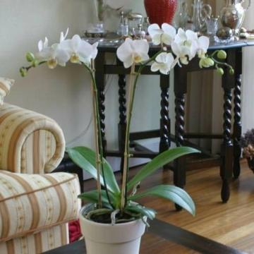 Phalaenopsis Orchidee weiß - 1 pflanze - 1