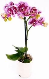 PHALAENOPSIS Spitzen aus Keramiktopf, weiß, echte Pflanze - 1