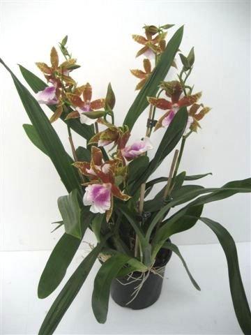 Miltonia 'Goodale Moir' – Stiefmütterchenorchidee – Orchidee