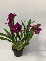 Miltonia Honululu 'Warner's Best' pink - Stiefmütterchenorchidee – Orchidee