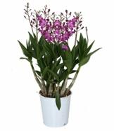 Dendrobium 'Berry Oda' lila - Bambusorchidee – Orchidee