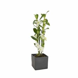 Dendrobium nobile weiß - Bambusorchidee - Orchidee