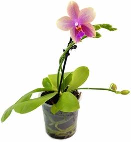 Phalaenopsis 'Liodoro' pink - Schmetterlingsorchidee - Duftorchidee