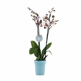 Phalaenopsis weiß - Schmetterlingsorchidee - Orchidee mit Topf