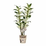 Dendrobium nobile 'Apollon' weiß - Bambusorchidee - Orchidee