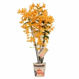 Dendrobium nobile 'Firebird' gelb - Bambusorchidee - Orchidee