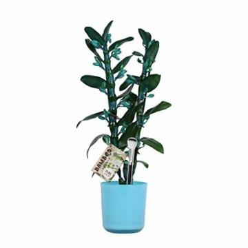 Dendrobium Make Upz blau – Bambusorchidee – Orchidee, mit Topf