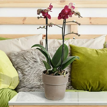 Phalaenopsis 'Red Lion' rot – Schmetterlingsorchidee – Orchidee