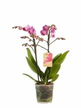 Phalaenopsis lila – Schmetterlingsorchidee – Orchidee