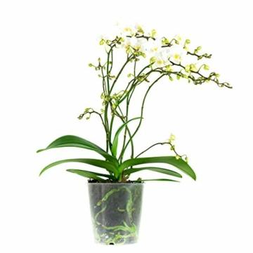 Phalaenopsis weiß – Schmetterlingsorchidee – Orchidee