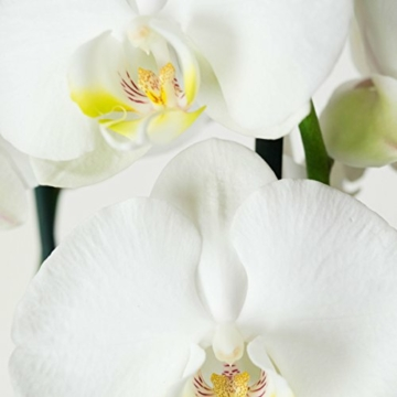2 × Phalaenopsis weiß - Schmetterlingsorchideen – Orchideen