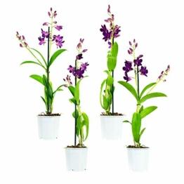 4 × Dendrobium 'Sa-Nook' – Bambusorchideen - Orchideen
