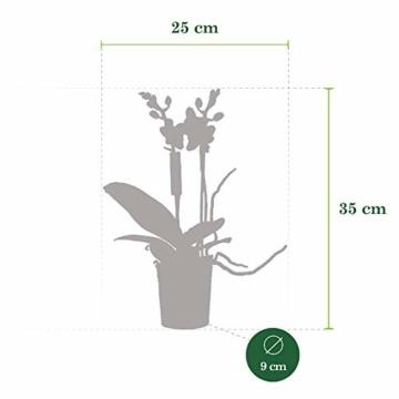 Phalaenopsis orange - Schmetterlingsorchidee - Orchidee