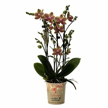 Phalaenopsis orange - Schmetterlingsorchidee - Orchidee