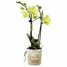Phalaenopsis gelb - Schmetterlingsorchidee - Orchidee