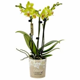 Phalaenopsis, gelb - Schmetterlingsorchidee - Orchidee